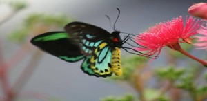 threatened butterfly species