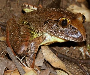 threatened frog species